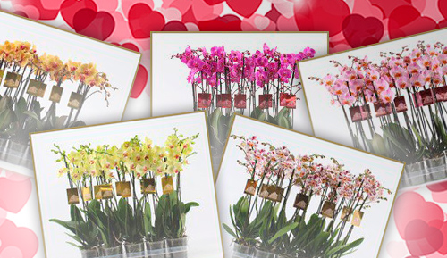 flores-san-valentin