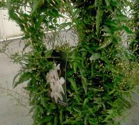 Plantas aromáticas Jazmín