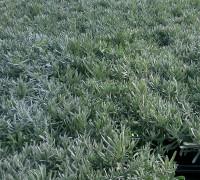 Plantas aromáticas Lavanda